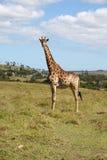 αφρικανικό giraffe Στοκ εικόνα με δικαίωμα ελεύθερης χρήσης