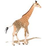 αφρικανικό giraffe Στοκ Φωτογραφία