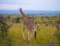 αφρικανικό giraffe Στοκ εικόνες με δικαίωμα ελεύθερης χρήσης