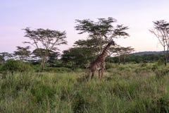 Αφρικανικό Giraffee Στοκ φωτογραφία με δικαίωμα ελεύθερης χρήσης