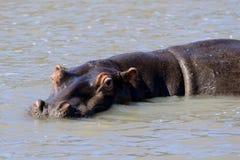 Αφρικανικό hippo στο φυσικό βιότοπό τους, Κένυα, Αφρική Στοκ εικόνες με δικαίωμα ελεύθερης χρήσης