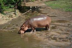 Αφρικανικό hippopotamus Στοκ Φωτογραφία