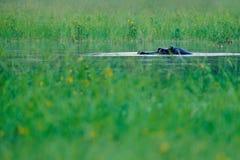 Αφρικανικό Hippopotamus, capensis amphibius Hippopotamus, με τον ήλιο βραδιού, ζώο στο βιότοπο νερού φύσης, Okavango, Μποτσουάνα, στοκ εικόνα