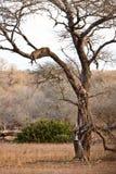αφρικανικό leopard δέντρο ύπνου Στοκ Εικόνες