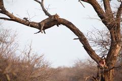 αφρικανικό leopard δέντρο ύπνου Στοκ Φωτογραφία
