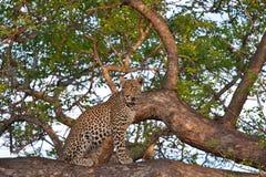 αφρικανικό leopard δέντρο Στοκ Φωτογραφίες