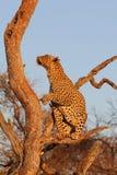 αφρικανικό leopard δέντρο Στοκ εικόνες με δικαίωμα ελεύθερης χρήσης