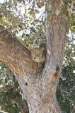 αφρικανικό leopard δέντρο Στοκ Εικόνα