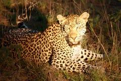 αφρικανικό leopard Πάρκο Kruger Στοκ Φωτογραφίες
