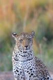 αφρικανικό leopard Στοκ Εικόνες