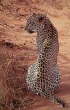 αφρικανικό leopard Στοκ εικόνες με δικαίωμα ελεύθερης χρήσης