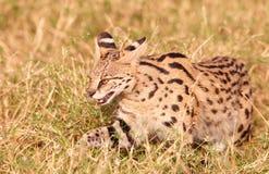 αφρικανικό leptailurus serval Στοκ Εικόνες