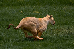αφρικανικό lionness στοκ εικόνες