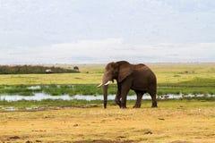 αφρικανικό loxodonta ελεφάντων africana Στοκ Εικόνα
