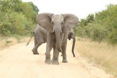 αφρικανικό loxodonta ελεφάντων africana στοκ φωτογραφίες