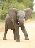 αφρικανικό loxodonta ελεφάντων africana στοκ εικόνα με δικαίωμα ελεύθερης χρήσης