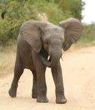 αφρικανικό loxodonta ελεφάντων africana στοκ φωτογραφία με δικαίωμα ελεύθερης χρήσης