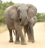 αφρικανικό loxodonta ελεφάντων africana Στοκ φωτογραφίες με δικαίωμα ελεύθερης χρήσης