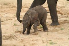 αφρικανικό loxodonta ελεφάντων africana Στοκ Φωτογραφία