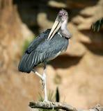 αφρικανικό marabu leptoptilus crumenifer Στοκ Εικόνες