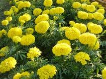 Αφρικανικό marigold λουλούδι, Στοκ Εικόνες