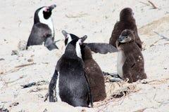 Αφρικανικό Penguin στην παραλία λίθων Στοκ Εικόνες