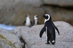 Αφρικανικό Penguin Στοκ φωτογραφίες με δικαίωμα ελεύθερης χρήσης