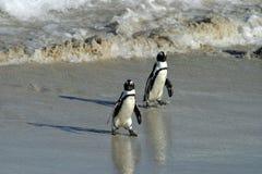 Αφρικανικό Penguin Στοκ Φωτογραφίες