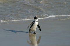 Αφρικανικό Penguin Στοκ Φωτογραφία