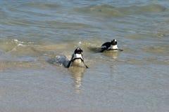 Αφρικανικό Penguin Στοκ εικόνα με δικαίωμα ελεύθερης χρήσης