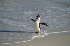 Αφρικανικό Penguin Στοκ φωτογραφία με δικαίωμα ελεύθερης χρήσης