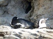 Αφρικανικό Penguins 16 Στοκ Εικόνες