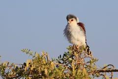 Αφρικανικό Pygmy γεράκι Στοκ Φωτογραφία