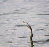 αφρικανικό rufa anhinga darter Στοκ φωτογραφίες με δικαίωμα ελεύθερης χρήσης