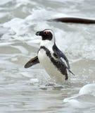αφρικανικό spheniscus demersus penguin Στοκ Φωτογραφίες