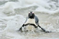 αφρικανικό spheniscus demersus penguin Στοκ φωτογραφία με δικαίωμα ελεύθερης χρήσης