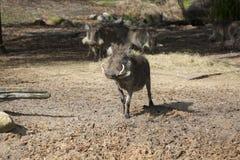 Αφρικανικό Warthog Στοκ Εικόνες