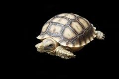 Αφρικανός κέντρισε ή sulcata geochelone Στοκ Εικόνες