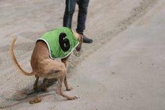 Αφόδευση του κυνηγόσκυλου Στοκ Φωτογραφίες