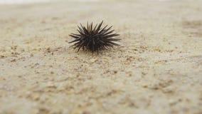 Αχινός στην άμμο απόθεμα βίντεο