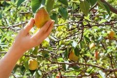 αχλάδια Επιλογή ενός αχλαδιού σε ένα δέντρο στον κήπο Ένας κήπος με μια συγκομιδή αχλαδιών νωποί καρποί Στοκ Φωτογραφίες