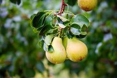 Αχλάδια στο δέντρο Στοκ εικόνα με δικαίωμα ελεύθερης χρήσης