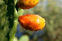αχλάδια τραχιά στοκ εικόνα με δικαίωμα ελεύθερης χρήσης