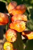 αχλάδια τραχιά στοκ εικόνα