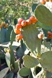 αχλάδια τραχιά στοκ εικόνες