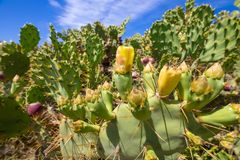 Αχλάδι κάκτων ή nopal με τα λουλούδια και τα φρούτα στοκ εικόνες με δικαίωμα ελεύθερης χρήσης