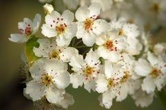 αχλάδι λουλουδιών Στοκ Φωτογραφία