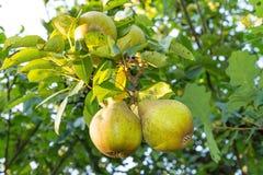 Αχλάδι στο δέντρο στην ηλιόλουστη ημέρα Στοκ Εικόνες