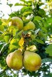 Αχλάδι στο δέντρο στην ηλιόλουστη ημέρα Στοκ φωτογραφία με δικαίωμα ελεύθερης χρήσης