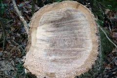 δαχτυλίδια σε ένα δέντρο περικοπών Στοκ φωτογραφία με δικαίωμα ελεύθερης χρήσης